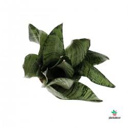 Sanseviera Trifasciata Zeylanica