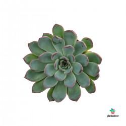 Echeveria Apus M-8,50 cm