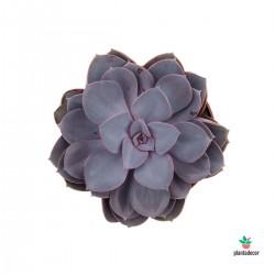 Echeveria Purple Pearl