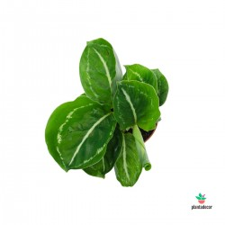 Calathea Roseopicta Green...