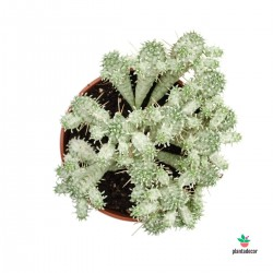 Euphorbia Mammillaris f....