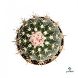 Melocactus x