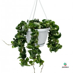 Hoya Carnosa Compacta Ampel
