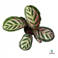 Calathea Roseopicta Cora