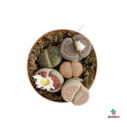 Lithops Villeti SPP (Cactus...