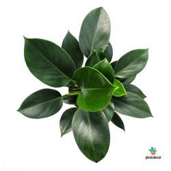 Philodendron Oxypure