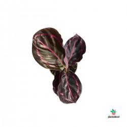 Calathea Roseopicta...