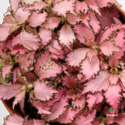 comprar Fittonia Verschaffeltii Pink Star