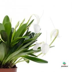 Orquidea Masdevallia Blanca comprar