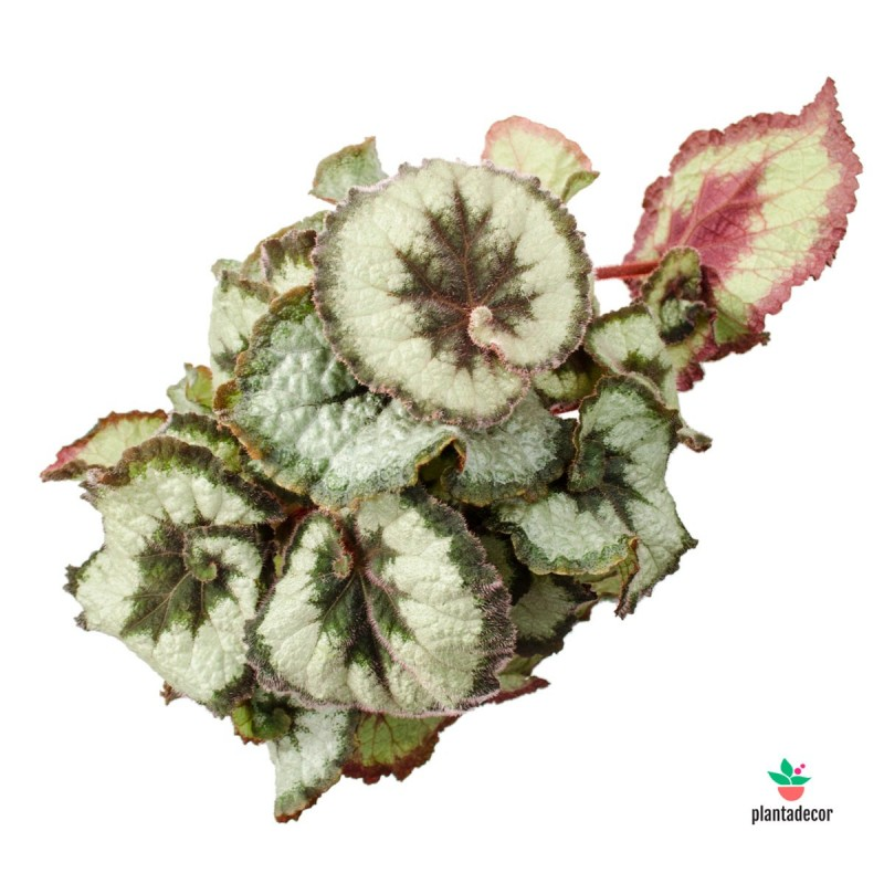 """Begonia Rex """"Princess of Hanover"""""""