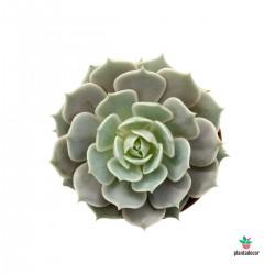 Echeveria Lola M-8,50 cm