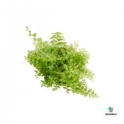 """Nephrolepis exaltata """"Green..."""