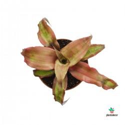 Cryptanthus Bivittatus...