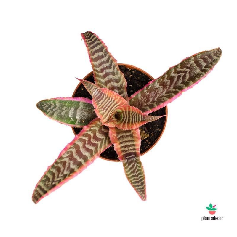Cryptanthus Bivittatus Feuerzauber