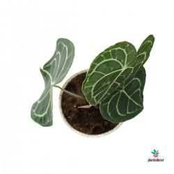 Anthurium Clarinervium m-17...
