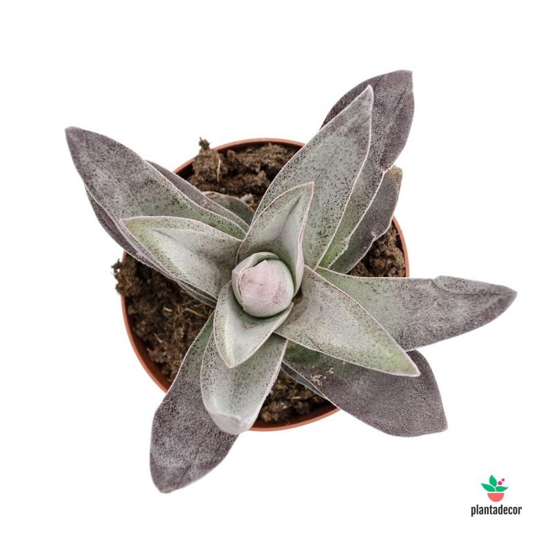 Crassula Garnet Lotus