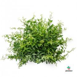 Codonante Crasifolia
