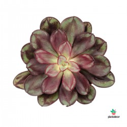 Echeveria Nodulosa M-8,50