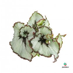 Begonia Rex Princess of Hanover Mini