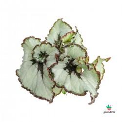 """Begonia Rex """"Princess of..."""