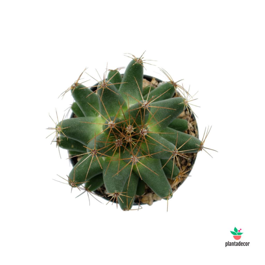 Dolichothele Longimamma | Plantadecor