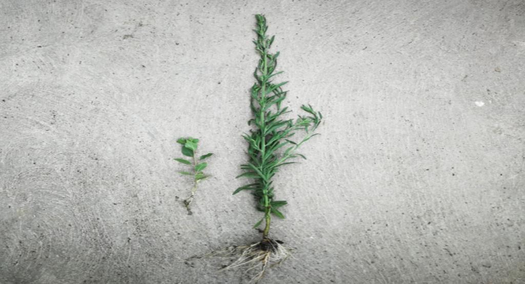 Las raíces son el cerebro de la planta