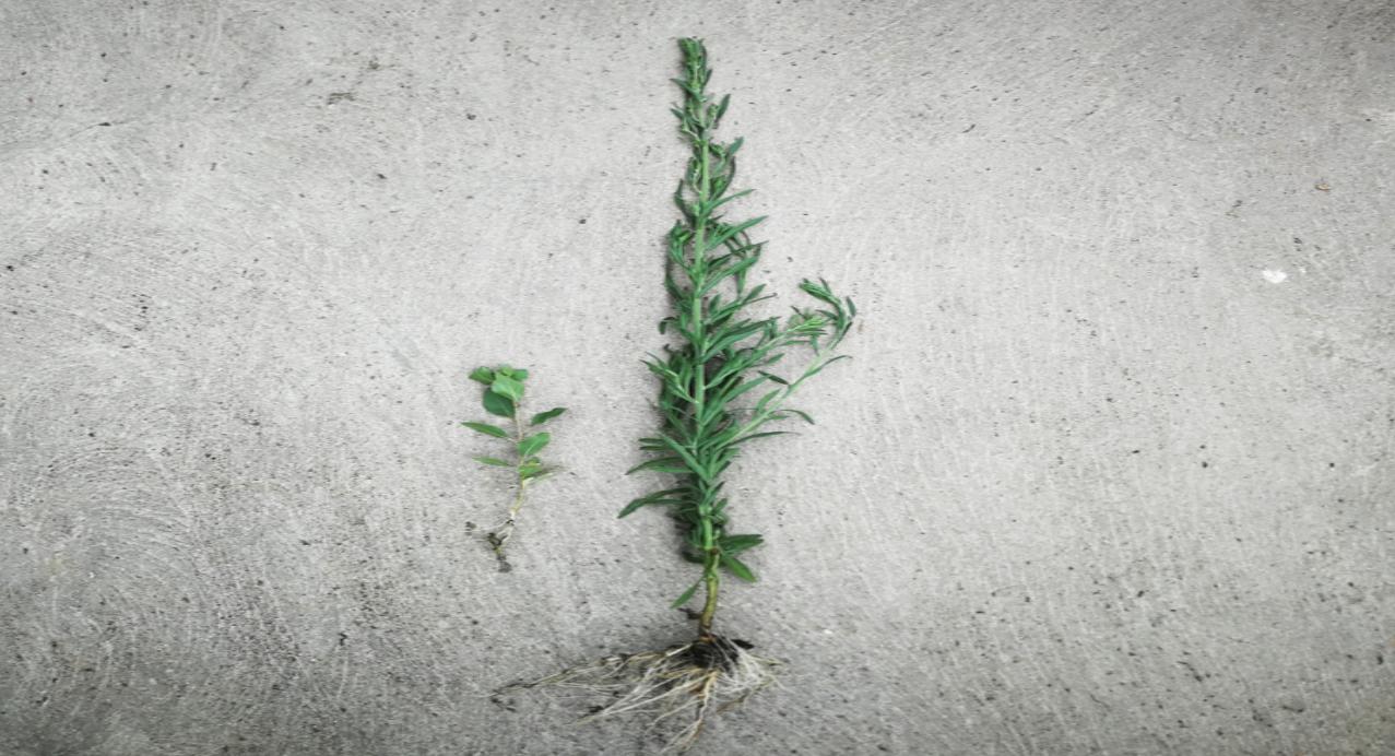 Raíces de dos pequeñas plantas silvestres