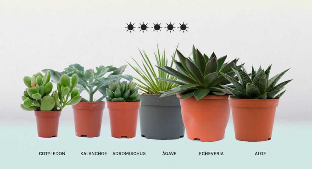 Plantas suculentas que necesitan mucha luz